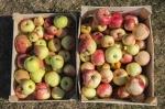 L'association Marly Ma Petite Planète organise une récolte de pommes dans toute la ville !