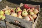 Cueillette de pommes au Verger de l'école Louise Michel - 31 07 2020