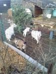 Chèvres Jardins Familiaux (sapins) - 30 12 2020